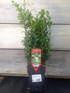 Buxus sempervirens 20 cm