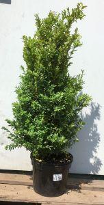 Zobrazit detail - Buxus sempervirens  50-60 cm