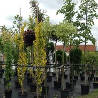 Vzrostlé stromy na prodej