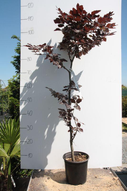 Buk lesní Fagus sylvatica 'PURPUREA'
