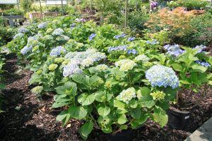 Období květu Hortenzií