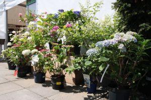 Období květu Hortenzií - 1187152 -