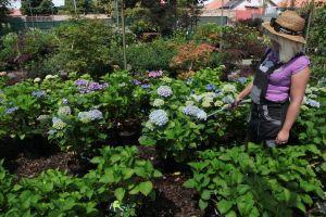Období květu Hortenzií - 1187153 -