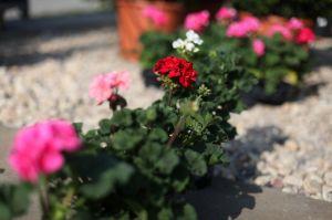 VÝPRODEJ- Všechny balkonové květiny teď u nás zakoupíte za 20,-Kč - 1187031 -
