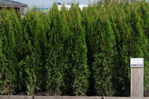 Dorazily čerstvé dřeviny na živé ploty - tůje, cypřišky, tisy - 1187558 - Tůja (thuja) Smaragd