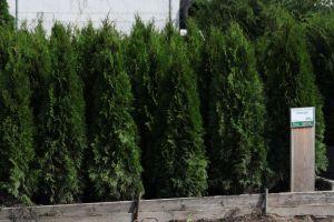Dorazily čerstvé dřeviny na živé ploty - tůje, cypřišky, tisy - 1187559 - Tůja (thuja) Smaragd