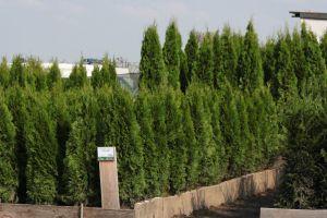 Dorazily čerstvé dřeviny na živé ploty - tůje, cypřišky, tisy - 1187560 - Tůja (thuja) Smaragd