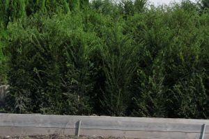 Dorazily čerstvé dřeviny na živé ploty - tůje, cypřišky, tisy - 1187561 - Tis červený (Taxus)