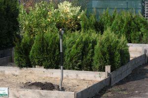 Dorazily čerstvé dřeviny na živé ploty - tůje, cypřišky, tisy - 1187563 - Tůja (thuja) Smaragd