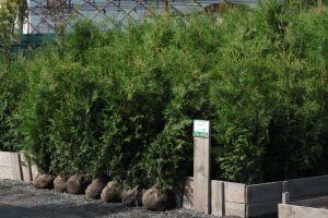 Dorazily čerstvé dřeviny na živé ploty - tůje, cypřišky, tisy - 1187564 - Tůja (thuja) Brabant