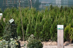 Dorazily čerstvé dřeviny na živé ploty - tůje, cypřišky, tisy - 1187565 - Tůja (thuja) Smaragd