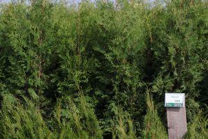Dorazily čerstvé dřeviny na živé ploty - tůje, cypřišky, tisy - 1187567 - Tůja (thuja) Brabant