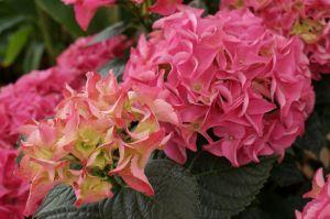 Hortenzie (Hydrangea) - 1187758 -