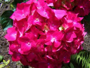 Hortenzie (Hydrangea) - 1187759 -