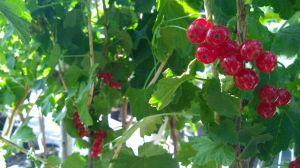 Prodej Ovocných stromů a keřů u nás v zahradnictví
