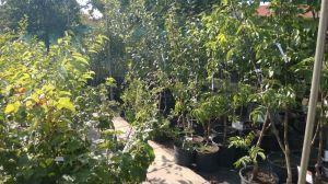 Prodej Ovocných stromů a keřů u nás v zahradnictví - 1187339 -