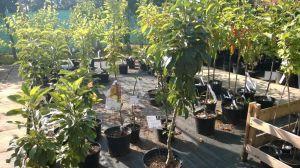 Prodej Ovocných stromů a keřů u nás v zahradnictví - 1187340 -