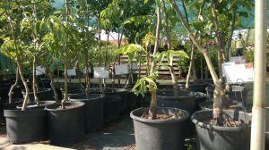 Prodej Ovocných stromů a keřů u nás v zahradnictví - 1187341 -