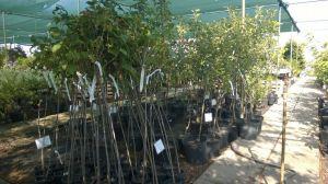Prodej Ovocných stromů a keřů u nás v zahradnictví - 1187342 -