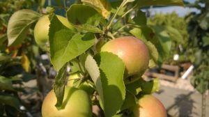 Prodej Ovocných stromů a keřů u nás v zahradnictví - 1187343 -