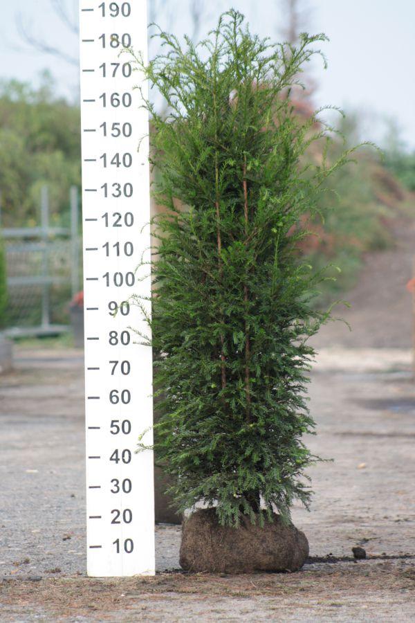 Tis červený 150-175 cm Taxus baccata