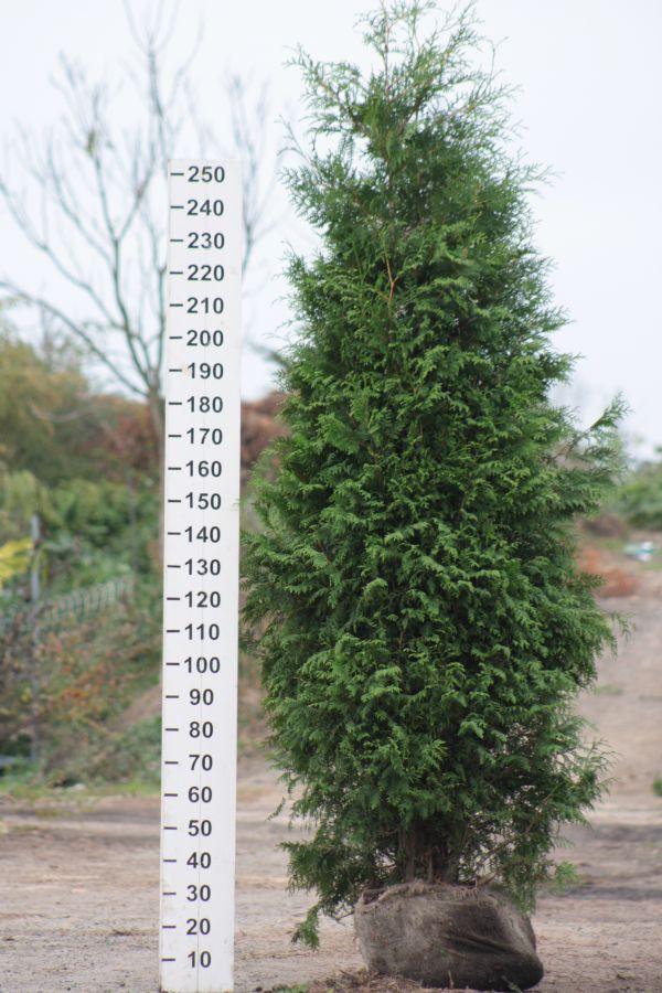 Túje západní 'BRABANT' 200-225 cm