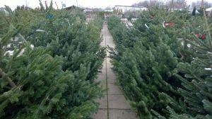 Vánoční stromky - prodej zahájen - 1187600 -