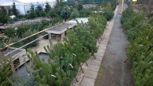 Vánoční stromky - prodej zahájen - 1187606 -