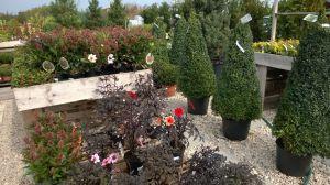 VÝPRODEJ- 50% sleva na vybrané rostliny + NOVÉ PODZIMNÍ ROSTLINY - 1187518 -