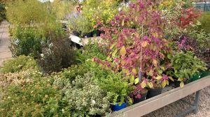 VÝPRODEJ- 50% sleva na vybrané rostliny + NOVÉ PODZIMNÍ ROSTLINY - 1187528 -