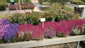 VÝPRODEJ- 50% sleva na vybrané rostliny + NOVÉ PODZIMNÍ ROSTLINY - 1187529 -