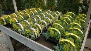 VÝPRODEJ- 50% sleva na vybrané rostliny + NOVÉ PODZIMNÍ ROSTLINY - 1187530 -