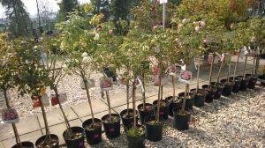 VÝPRODEJ- 50% sleva na vybrané rostliny + NOVÉ PODZIMNÍ ROSTLINY - 1187533 -