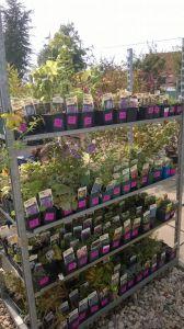 VÝPRODEJ- 50% sleva na vybrané rostliny + NOVÉ PODZIMNÍ ROSTLINY - 1187535 -