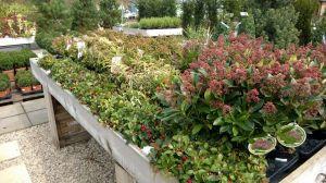 VÝPRODEJ- 50% sleva na vybrané rostliny + NOVÉ PODZIMNÍ ROSTLINY - 1187519 -