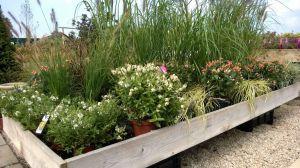 VÝPRODEJ- 50% sleva na vybrané rostliny + NOVÉ PODZIMNÍ ROSTLINY - 1187520 -
