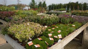 VÝPRODEJ- 50% sleva na vybrané rostliny + NOVÉ PODZIMNÍ ROSTLINY - 1187521 -