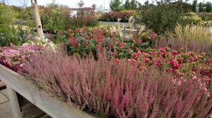 VÝPRODEJ- 50% sleva na vybrané rostliny + NOVÉ PODZIMNÍ ROSTLINY - 1187525 -