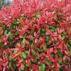 Blýskavka Photinia fraseri 'RED ROBIN' list