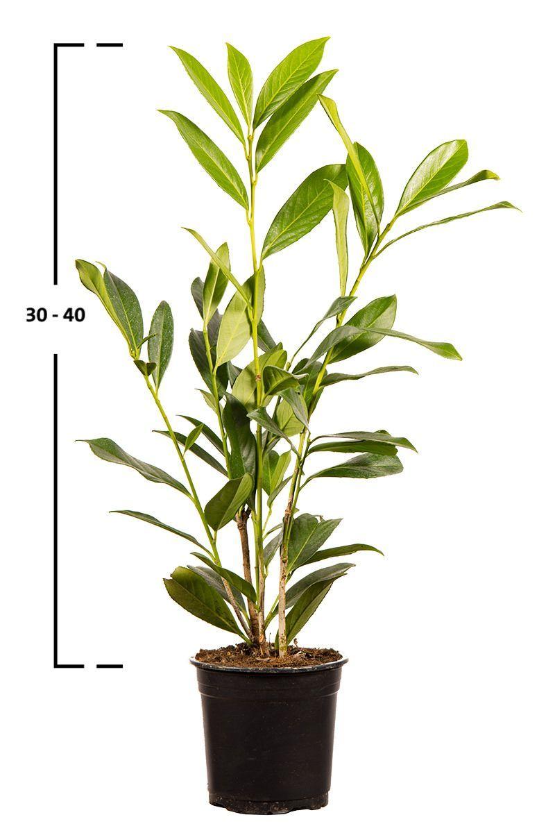 Prunus laurocerasus ´CAUCASICA´ 30-40 cm, kontejner (bobkovišeň)