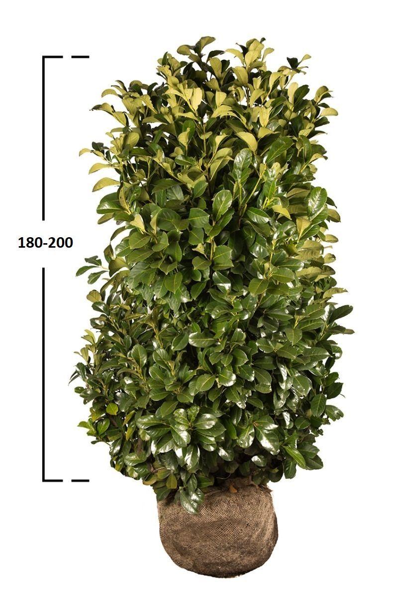 Bobkovišeň obecná 'ETNA' 180-200 cm