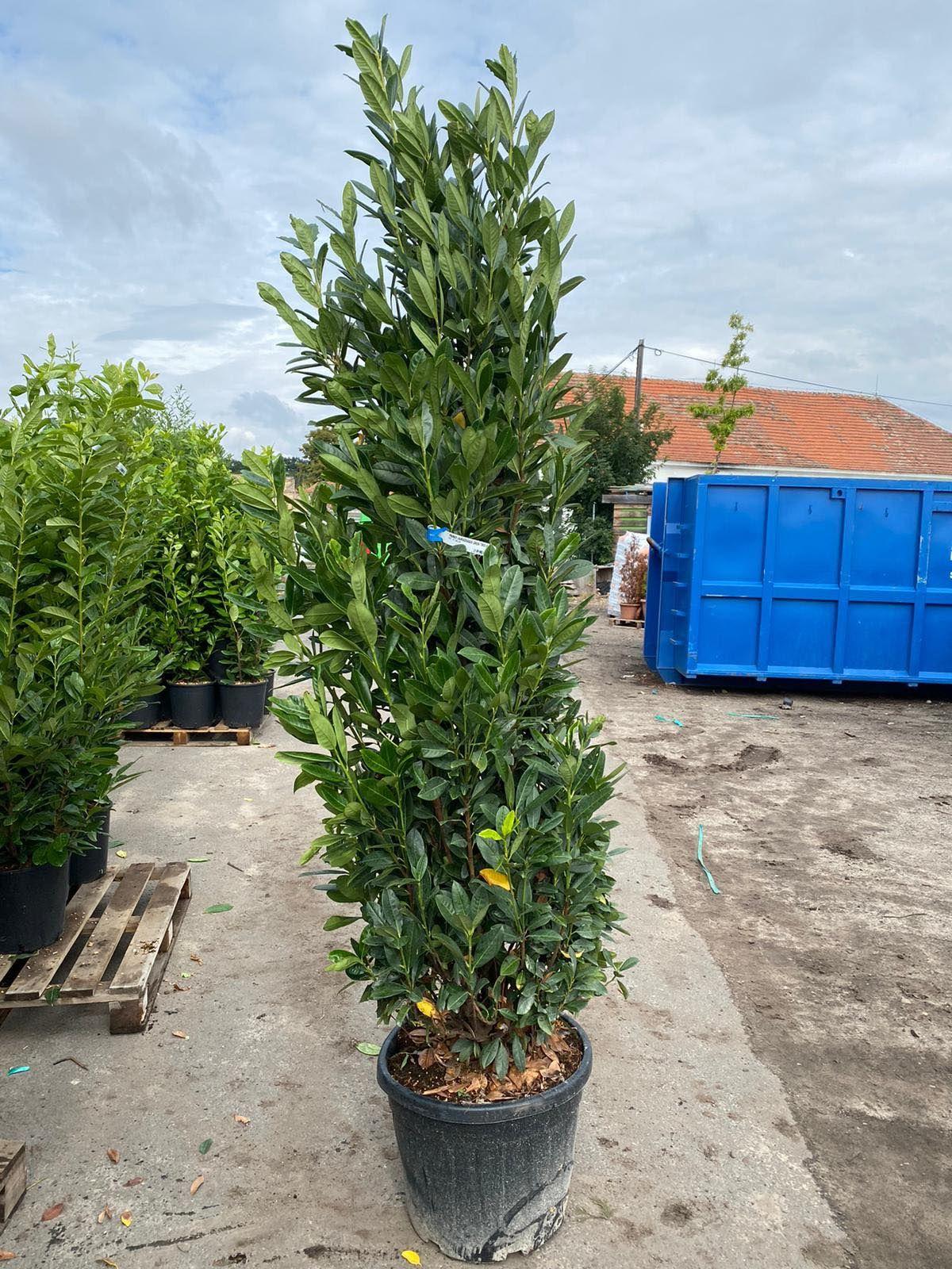 Bobkovišeň obecná 'GREEN TORCH´ 200-250 cm (kontejner)