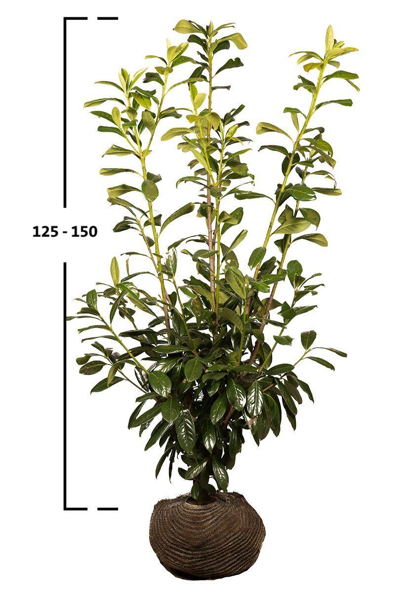Bobkovišeň obecná 'NOVITA' 125-150 cm