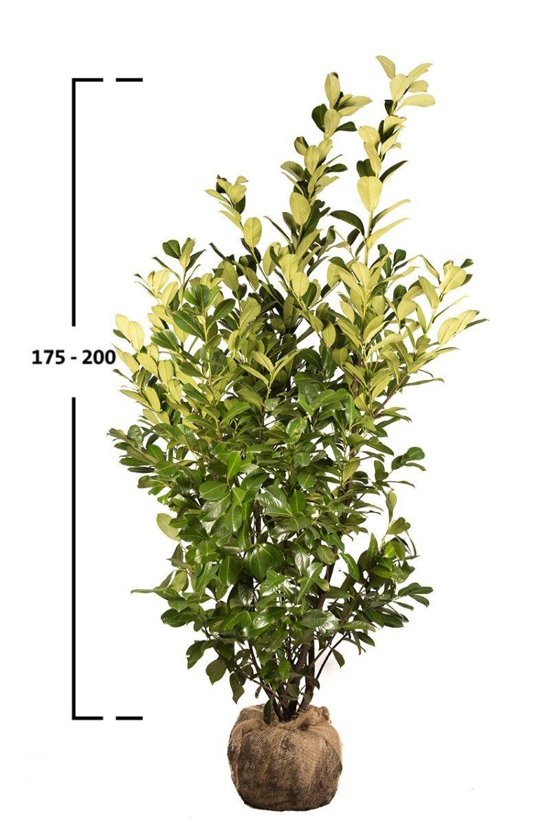 Prunus laurocerasus 'ROTUNDIFOLIA' 175-200 cm, (Bobkovišeň)