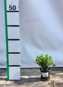 Buxus sempervirens 10-15 cm