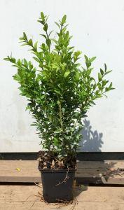 Buxus sempervirens 15-20 cm