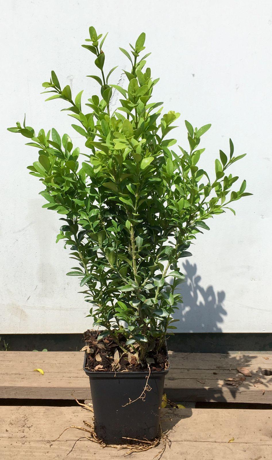 Buxus sempervirens Zimostráz obecný 15-20 cm