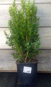 Buxus sempervirens 30 cm