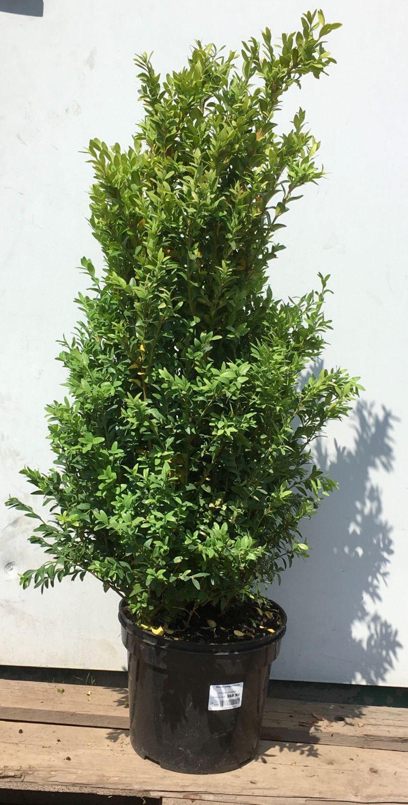 Buxus sempervirens Zimostráz obecný 50-60 cm