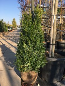 Buxus sempervirens 70-90 cm
